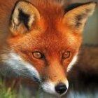 FoxfloaT