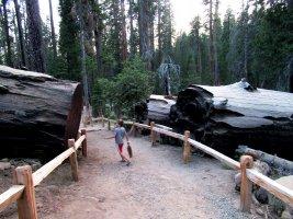 Mariposa Grove, la casa de los gigantes - Yosemite NP, California