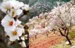 Ruta de los Almendros en Flor al Sur de Granada