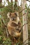 Koala - Great Ocean Road