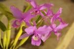Orquídeas en la feria de Boquete