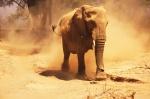 Mama Elefante enfadada en el río Huab -Twyfelfontein, Damaraland