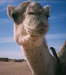 Camello Saharaui