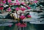 Flores de Loto - Luang Prabang