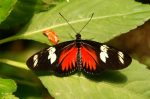 Butterfly, wings red and black