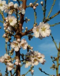 Blossom almons in Cuenca