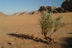 Wadi Rum Plant