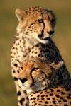 Cheetah Tented Camp. Maasai Mara.