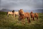 Caballos islandeses al borde de la carretera