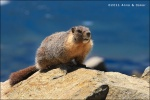 Marmota en Ellery Lake - Yosemite National Park