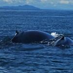 Temporada de Avistamiento de Ballenas en Centroamérica