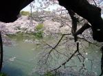 Cerezos en Flor II en el parque Chidorigafuchi - Tokio