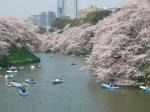 Cerezos en Flor en el parque Chidorigafuchi - Tokio