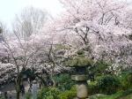 Cerezos en flor en el Parque Ueno - Tokio
