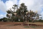 Cabras trepadoras en un árbol de argán
