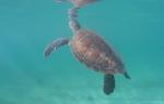Tortuga en Riviera Maya
