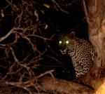 Leopardo night