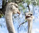 Hablando el avestruz