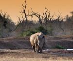 Rinocerente en Hlane