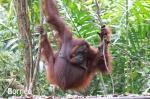 Isla de Borneo: Kuching y Tanjung Puting