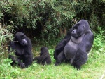 Gorillas Family
