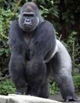 A Silverback Gorilla in Uganda
