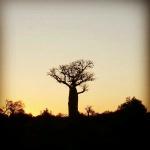Baobab en el sur de Madagascar.