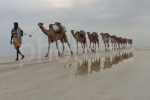 Caravana de camellos en el Lago Assal ( Danakil Etiopia)