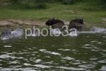 hipos y bufalos canal rowezoni