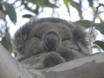 Koala Koala, Kennett, River, Great, Ocean, Road, risueño, visto