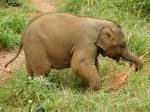 Baang, el elefantito feliz de Elephant Freedom