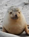 Cría de león marino en Seal Bay