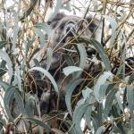 Koala camuflado en Kangaroo Island