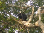 Chimpance en Kibale Forest National Park
