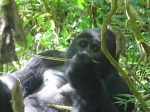 Gorila grupo Kyagurilo en Bwindi National Park