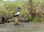 jabiru en mary river