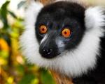 lemur_blanco_y_negro