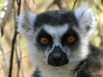 lemur_catta