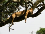 Una tranquila siesta lejos de los molestos tábanos Uganda