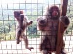 Macacos Arashiyama