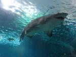 185_Toronto_Aquarium_tiburones_2