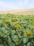 Girasoles amenazantes