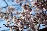 Floración Cerezos en Kochi (Shikoku) - Japón se tiñe de rosa