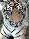 Los tigres de Madhya Pradesh - India