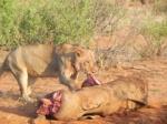 leona comiendo