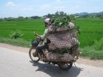 Transporte de animales en Vietnam