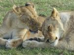 UN POQUITO DE KENIA: LAGOS NAIVASHA Y NAKURU, SAMBURU Y MASAI MARA