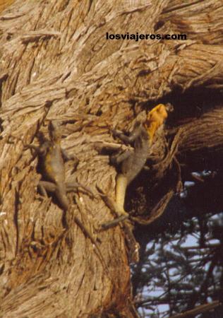 Lizards in a tree - Bamfora - Burkina Faso Lagartos en un arbol - Bamfora - Burkina Faso