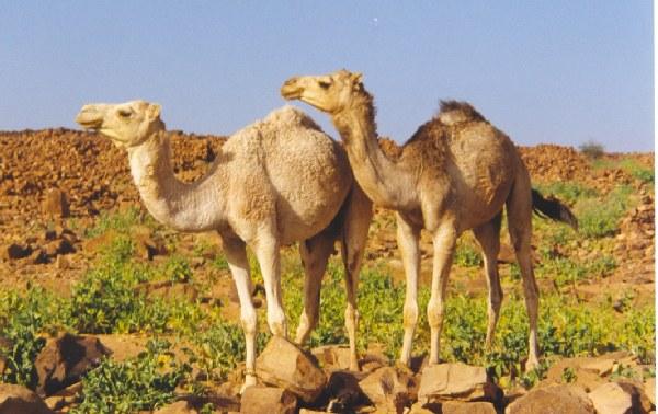 Camellos en las ruinas de - Mauritania