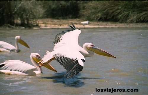Djoudj National Park - Near of St. Louis - Senegal Pelícano en el Parque nacional de Djoudj - al norte de San Luis - Senegal